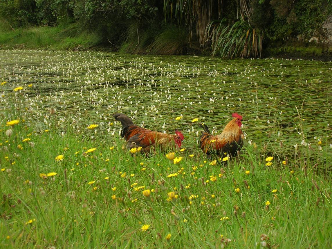 Fotogene Hühner