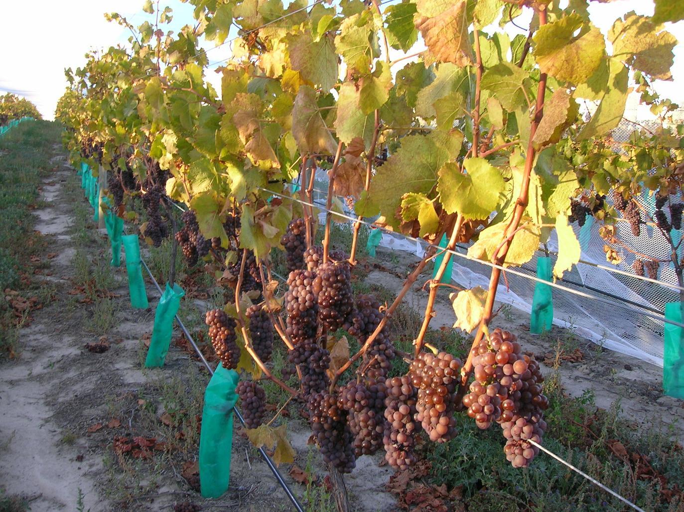Pinot Noir … oder war es Pinot Gris?