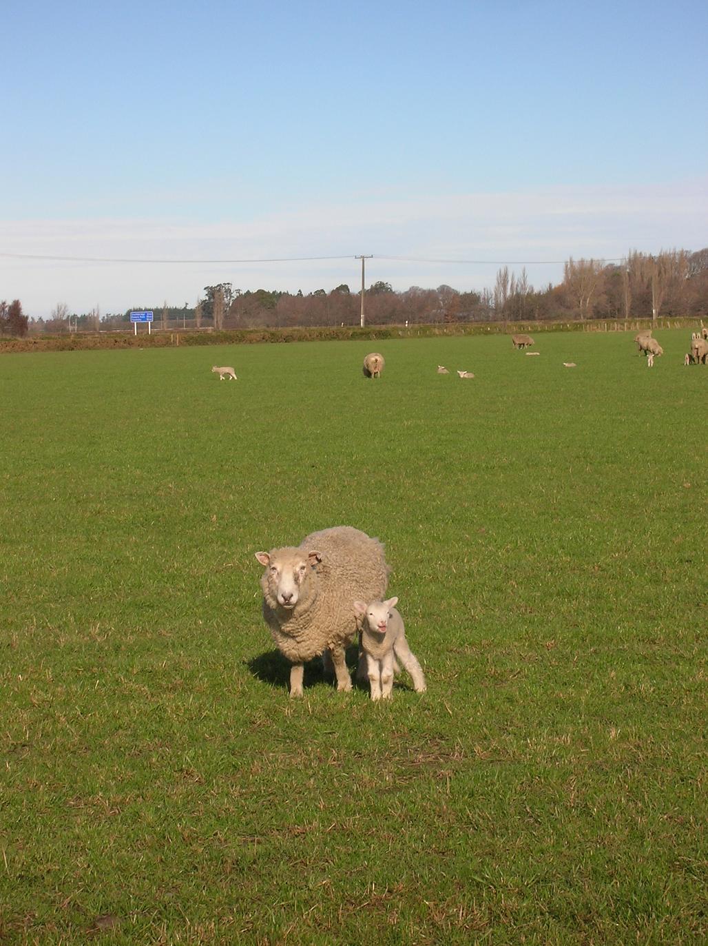 Von links nach rechts: Schaf (groß), Schaf (klein)