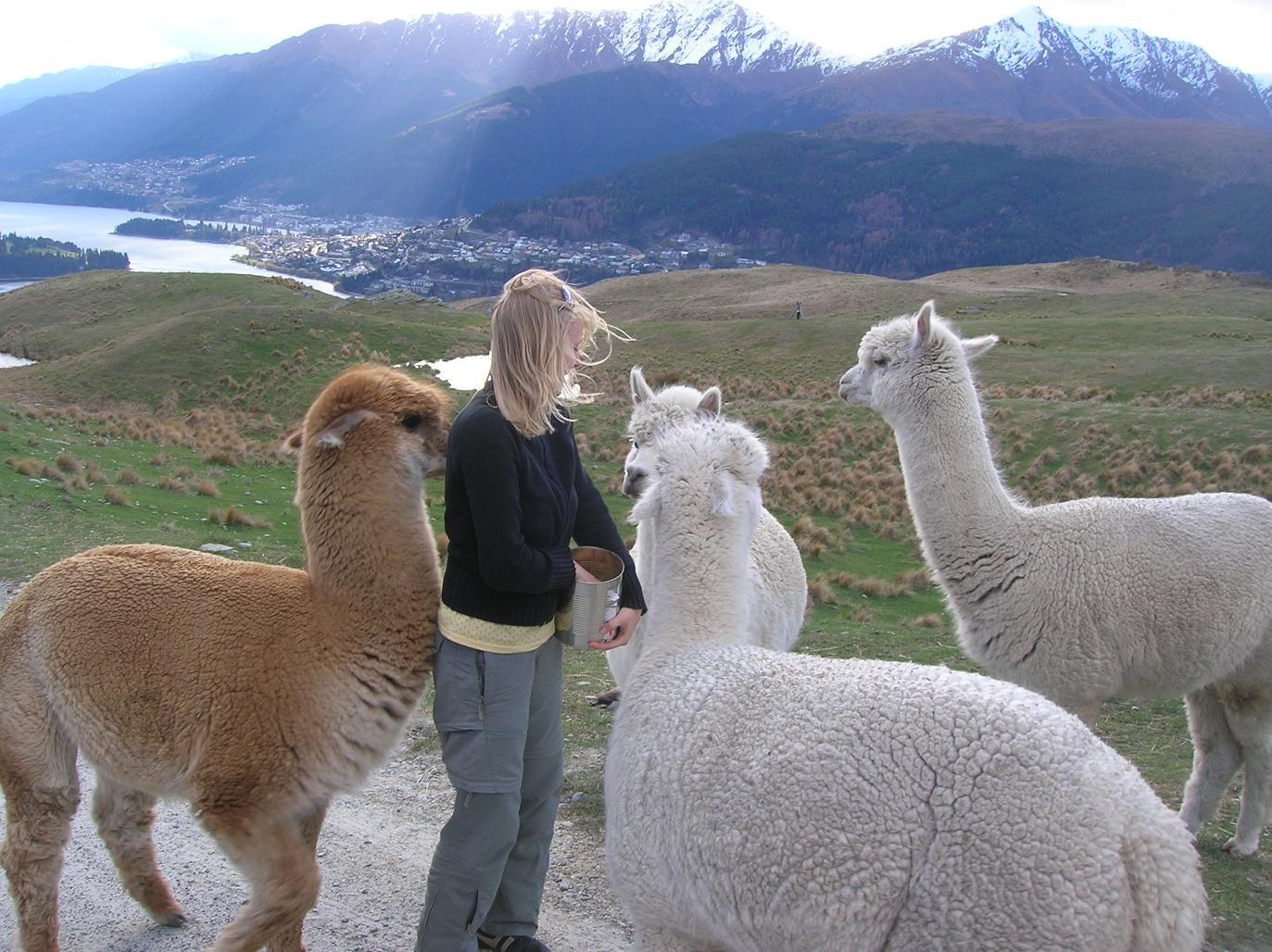 Eine Herde Lamas …