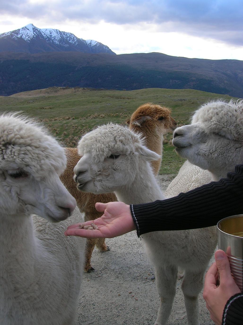 Ein ungeküsstes Lama wartet freudig …