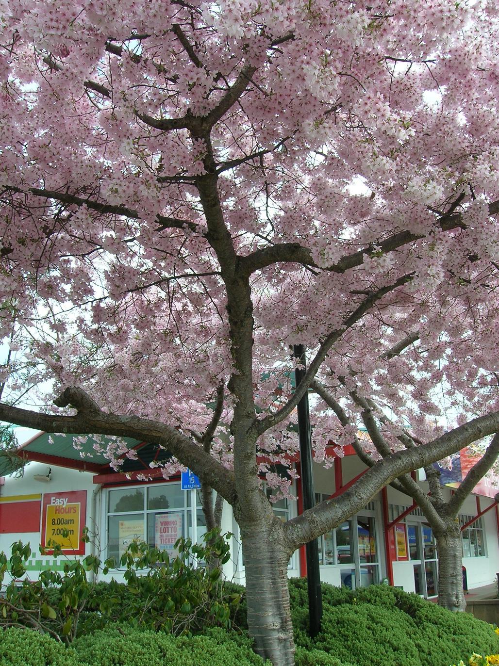 Ein Blossom Tree